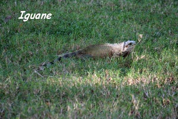 Iguane, TdeH, les saintes