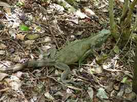iguane, littoral gosier, saline-pt havre