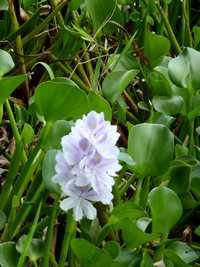 jacinthe d`eau, pointe à retz, grande terre, guadeloupe