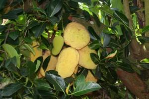 jacquier arbre jardins Guadeloupe
