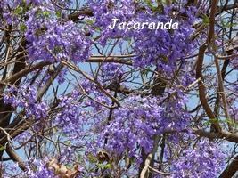 jacaranda arbre jardins Guadeloupe