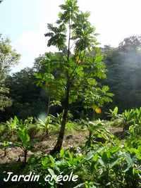 jardin créole Riv D