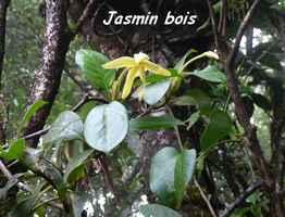 Hilia parasitica, jasmin bois