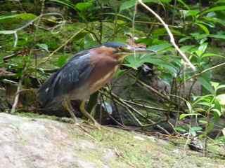oiseau ecosysteme foret tropicale humide guadeloupe