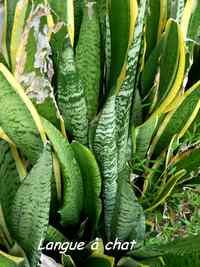 Langue à chat, Sanseveria hyacinthodes, Baie Mahault