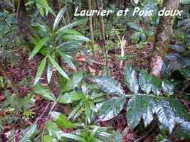 Podocarpus coriaceus et Inga guadeloupensis, laurier et Pois doux montagne, Galion