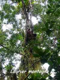 Podocarpus coriaceus, Laurier rose montagne, Piton de Bouillante