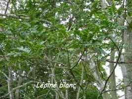 Lépiné blanc, Zanthophyllum caribaeum, Madame