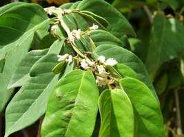 Liane à barriques, Dalbergia ecastaphyllum, Littoral Deshaies