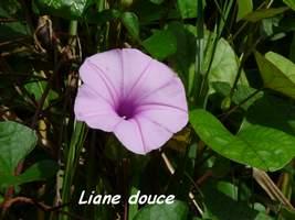 Liane douce, patate marron, Ipomea tiliacea, Contrebandiers, Guadeloupe