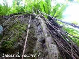 lianes ou racines, chutes moreau, goyave, base terre nord, guadeloupe
