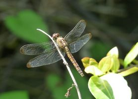 Erythrodiplax umbrata, Libellule, Grande Pointe
