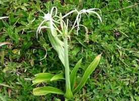Lis blanc, Hymenocallis caribeae, Sainte Anne