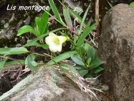 lis montagne, flore, soufrière, guadeloupe