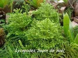 lycopodes, flore, soufrière, guadeloupe