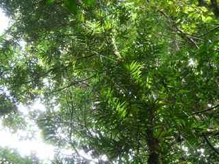 laurier rose frézias arbre foret humide ecosysteme tropical