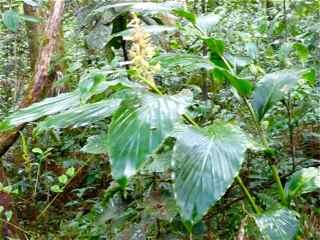 lavande blanche, Renealmia pyramidalis, Frézias herbacée foret humide écosystème tropicalantilles