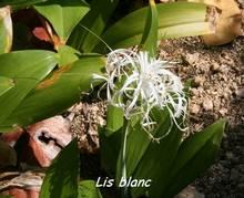Hymenocallis caribea, rivière audoin Moule , grande terre, guadeloupe, antilles