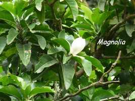 magnolia, Talauma dodecapetala, arbre, soufrière, guadeloupe
