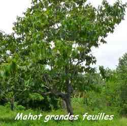 Mahot Grandes feuilles, Cordia sulcata, Pointe à Bacchus