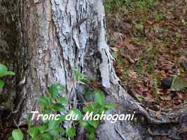 mahogani, Riv D