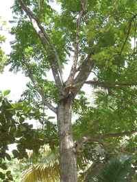 Mahogani, Swietenia mahogani, Gros Morne Deshaies