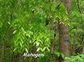 Swietenia macrophylla, Mahogani, Poyen