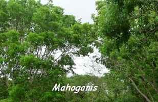 Swietenia macrophylla, et mahagoni, Poyen