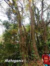 mahoganis, tour du houelmont, basse terre, guadeloupe