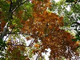 Mahogani,feuilles, Galbas