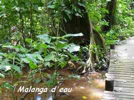 malanga d`eau, Montrichardia arborescens, Pointe à Bacchus