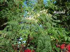 maloko, Moringa oleifera, Madame