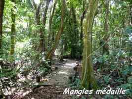 Forêt marécageuse et mangles médailles, Pterocarpus officinalis, Pointe à Bacchus