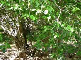 mancenillier, Hippomane mancinella, arbre, Port Louis, grande terre, Guadeloupe