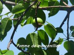 mancenillier, arbre, pointe allègre, basse terre, guadeloupe