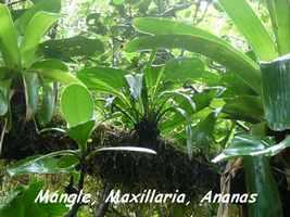 Mangle, Maxillaria coccinea, Ananas bois, Piton de Bouillante