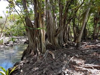 mangles médailles mangrove mamalier cote sous le vent Guadeloupe
