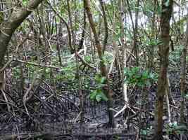 Mangrove, Pointe à Bacchus