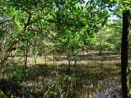 Pneumatophores, mangrove, port Louis, grande terre, guadeloupe
