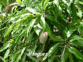 Mangues, Mangifera indica, Marie Galante