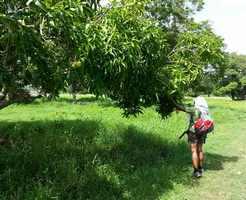 manguier, pointe à retz, morne à l`eau, grande terre, guadeloupe