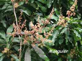 manguier, arbre, bras de fort, goyave, guadeloupe