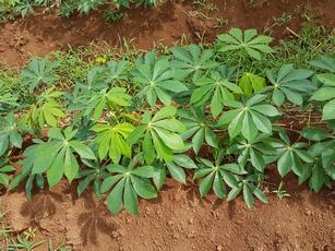 manioc pte bacchus pt bourg guadeloupe