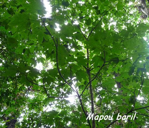 mapou carbet L