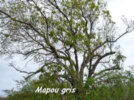 Mapou gris, Pisonia subcordata, anse laborde