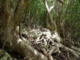 Mapou gris, Pisonia subcordata, littoral gosier