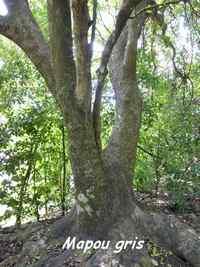 Mapou gris, Pisonia subcordata, Petit havre