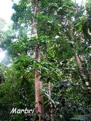 marbri, Richeria grandis, arbre, bras de fort, goyave, guadeloupe