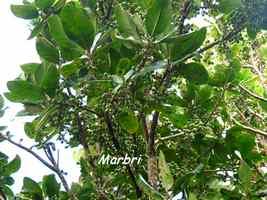 marbri, arbre, soufrière, guadeloupe