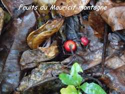 mauricif, arbre, foret humide, ecosysteme tropical, guadeloupe, antilles